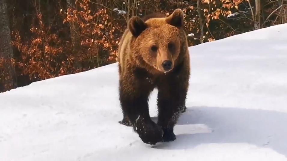 Опасност за скиорите в Румъния заради мечки по пистите